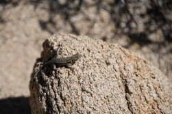 Beautiful brown lizard