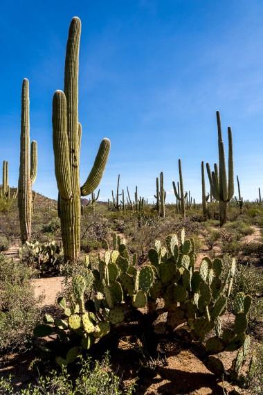 Saguaros and prickly pear cacti.